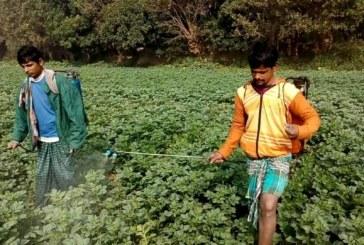 সিরাজদিখানের কৃষকেরা আলু পরিচর্যায় ব্যস্ত