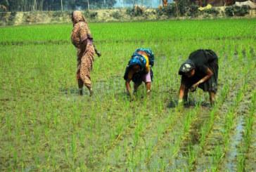 গাইবান্ধায় কৃষকের স্বপ্ন পরিচর্যায় ব্যস্ত নারী কৃষাণীরা