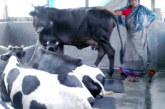 কলাপাড়ায় গাভী পালন করে ভাগ্য বদলে গেছে গৃহবধূ ফাতেমার