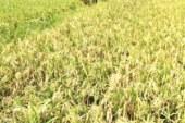 সুনামগঞ্জের জগন্নাথপুরে ধান কাটার শ্রমিক সংকট