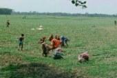 দাকোপ উপজেলার চাষিরা তরমুজ চাষ নিয়ে ব্যস্ত সময় পার করছে