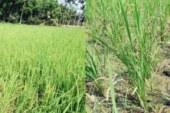 চাঁদপুরে মতলব ও ফরিদগঞ্জের দু'টি সেচ প্রকল্পে পানির অভাবে ১৬'শ একর ধান নষ্ট হওয়ার আশঙ্কা ॥ মাটি ফেঁটে চৌচির