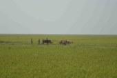 জগন্নাথপুরে হাওরে ধান কাটার শ্রমিক সংকট চরমে