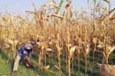 ঝিনাইদহে চলতি মৌসুমে ভুট্টার বাম্পার ফলনে খুশি কৃষকরা