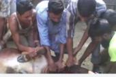 পরশুরামে বিধবা হিন্দু মহিলার গরু জবাই করে গোস্ত ভাগ