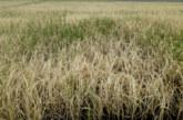 ধামইরহাটে কৃষকের বীজতলা পুড়িয়ে দিয়েছে দুর্বৃত্তরা