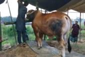 রাউজানে কোরবানীর হাটে সবচেয়ে দামী গরু : দাম হাঁকছে ৫ লাখ