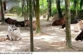কুড়িগ্রামে সীমান্ত দিয়ে আসছে ভারতীয় গরু : সরকার হারাচ্ছে রাজস্ব