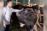 এক টুকরো মাংস না পাওয়া দু'ভাই এবার সবচেয়ে বড় গরুটি কোরবানি দিচ্ছে