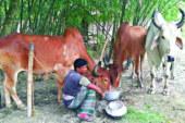 দেশি গরুতেই মিটবে চাহিদা, শেষ সময়ের প্রস্ততিতে বেপারিরা | দৈনিক আগামীর সময়