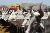 রাজশাহীতে দেশি বলে বিক্রি হচ্ছে ভারতীয় গরু | দৈনিক আগামীর সময়