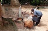 নওগাঁর মহাদেবপুরে সরকারি গাছ কাটার অভিযোগ