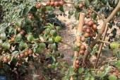 ঝিনাইদহে ভারতের কাশ্মীরি আপেল কুলের চাষ