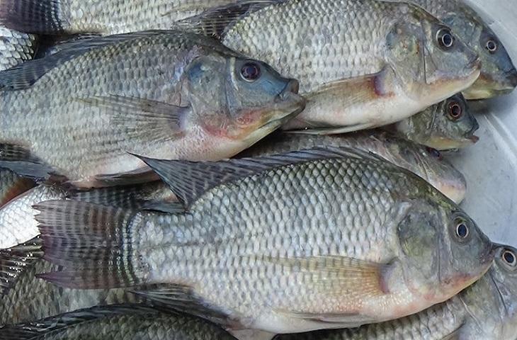 তেলাপিয়া মাছ বাড়ায় ক্যানসারের ঝুঁকি