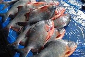 রূপচাঁদার নামে পিরানহা বিক্রি, মাছ তাজা দেখাতে রং