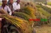 ঘাটাইলে আমন ধানের বাম্পার ফলনে কৃষকের আনন্দের হাসি