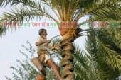 আসছে শীত, খেজুর রসের গুড় তৈরিতে ব্যস্ত তালতলীর কৃষক